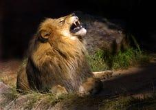 疯狂的狮子 免版税库存照片