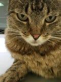 疯狂的猫 免版税库存图片