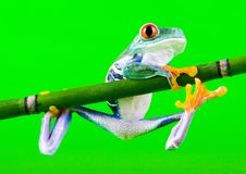 疯狂的青蛙 库存图片