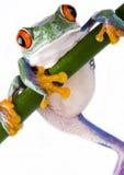 疯狂的青蛙 免版税图库摄影