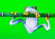 疯狂的青蛙 免版税库存照片