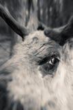 疯狂的驯鹿 库存照片