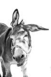 疯狂的驴 免版税库存图片