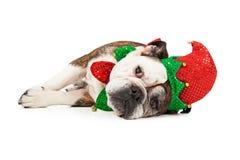 疲乏的圣诞节矮子狗 免版税库存图片