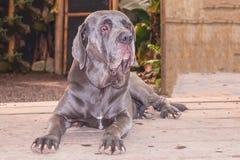 疲乏的大型猛犬那不勒斯狗摆在 免版税库存照片
