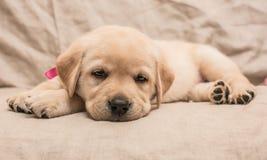 疲乏的小狗 免版税库存照片