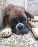 疲乏的德国拳击手狗 免版税库存图片