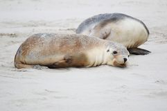 疲乏的海狮崽 图库摄影