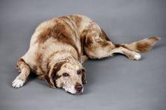 疲乏的滑稽的查找的狗 库存图片