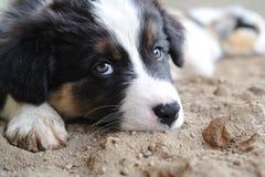 疲乏的澳大利亚牧羊人澳大利亚小狗 免版税库存图片