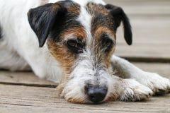 疲乏的狗在走以后-哀伤的狗-尾随画象 库存照片