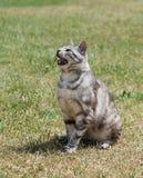 疲乏的猫在草地的晴朗的热的夏日 库存图片