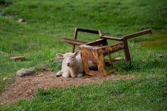 疲乏的绵羊 免版税图库摄影