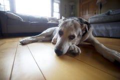 疲乏的老狗 免版税库存图片