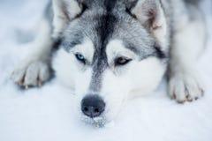 疲乏的西伯利亚爱斯基摩人拉雪橇狗特写镜头 库存图片