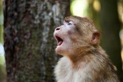 疲乏的巴贝里猿 库存照片