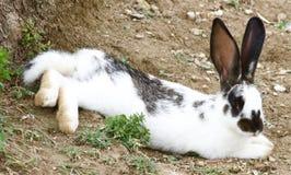 疲倦的兔宝宝 免版税库存照片
