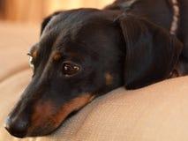 疲倦的小狗 免版税库存图片