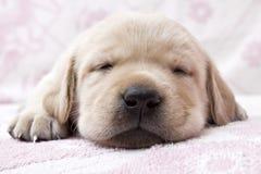 疲倦的小狗 库存照片