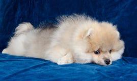 疲倦的小狗 库存图片