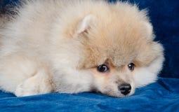 疲倦的小狗 免版税图库摄影