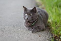 疲倦的幼小英国猫 免版税库存照片