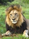 疲倦的狮子 免版税库存图片