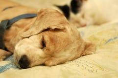 疲倦的猎犬 库存图片