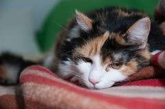 疲倦的猫 库存照片