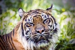 疲倦的老虎 图库摄影