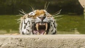 疲倦的老虎 免版税库存图片