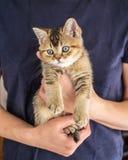 疲倦的英国金黄黄鼠滴答作响沉思地的小猫坐在人手 库存照片