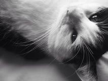 疲倦的Black&White猫 免版税库存照片