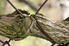 疼的结构树 免版税库存照片