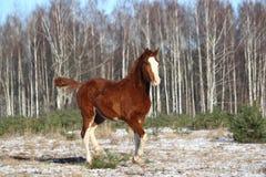 疾驰在冬天的栗子马驹 免版税图库摄影