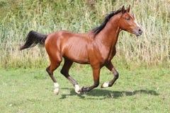 疾驰在夏天牧场地的美丽的阿拉伯公马 免版税库存照片
