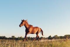 疾驰在多瑙河三角洲,多布罗加,罗马尼亚的野马 免版税库存照片