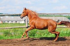 疾驰在小牧场的阿拉伯马 库存照片