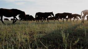 疾驰在干草原的牧场地的很多吃草的马在日出 股票录像