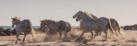 疾驰在沙子的白色Camargue马 camargue de地区的parc 法国 普罗旺斯 图库摄影