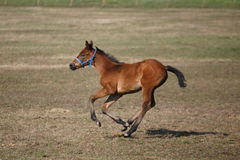 疾驰在牧场地的小马 库存照片