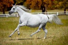 疾驰在牧场地的白马 免版税库存图片