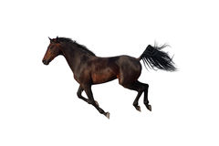 疾驰在白色背景的海湾马 免版税图库摄影