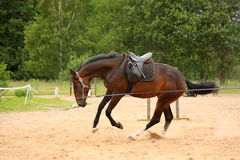 疾驰在线的布朗嬉戏的马 免版税图库摄影