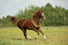 疾驰在蒲公英领域的栗子马 免版税库存照片