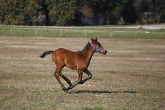 疾驰在领域的美丽的小马 图库摄影
