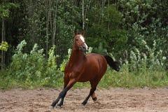 疾驰在领域的美丽的海湾马在森林附近 图库摄影