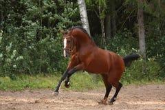 疾驰在领域的美丽的海湾马在森林附近 免版税库存照片