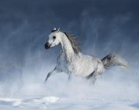 疾驰在飞雪期间的纯血统灰色阿拉伯马 免版税库存图片