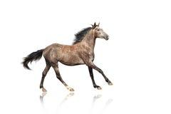 疾驰异常的衣服的一匹美丽的棕色灰色马 免版税库存照片